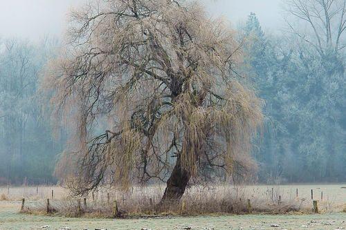 The weeping willow of Gelderland by Fred van Daalen