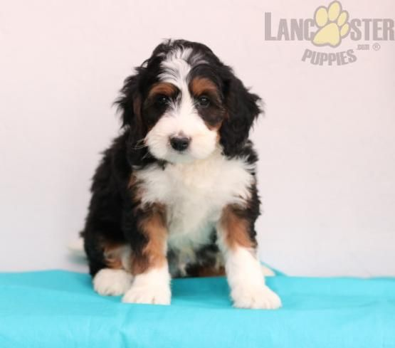 Theo 1 Yr Health Guarantee Mini Bernedoodle Puppy For Sale In Sugarcreek Oh Lancaster Puppies In 2020 Bernedoodle Puppy Puppies For Sale Bernedoodle