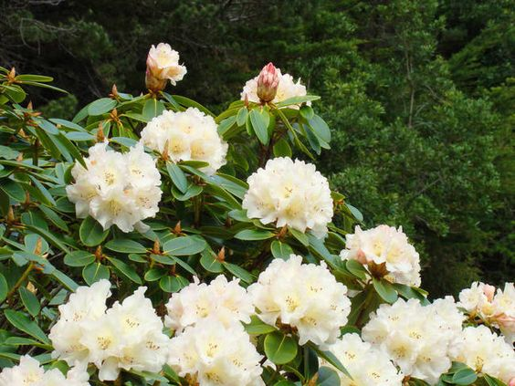 White Creamy Rhododendron Flowers Landscape