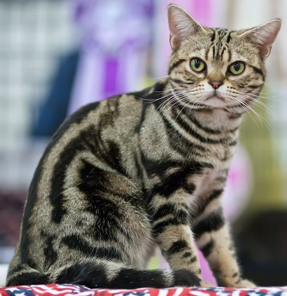 Cat Facts Fun Tidbits About Tabby Cats With Images American Shorthair Cat Cat Breeds American Shorthair
