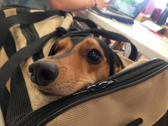 "19 Things Only #dachshund Parents Understand. Yes...this is the ""I can fit in your luggage so you'll take me with you, right?"" look. so adorable :)"
