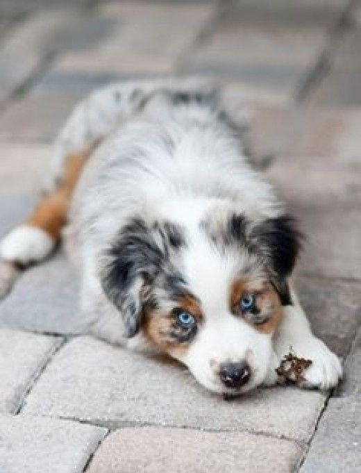 A List Of Facts About The Australian Shepherd Breed Including