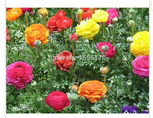 Ranunculus Flowerspersian Buttercup  Mix 50 Pcs Seeds -- You can find out more details at the link of the image.