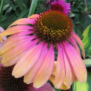 "Do you have or would you like to have a butterfly attracting garden? Are fresh cut flowers your thing? If you answered ""yes"" to either of these questions, you will want to add Butterfly™ 'Rainbow Marcella' Echinacea to your list of ""must haves"". Beautiful rainbows of pink, yellow and orange are painted on each petal of Butterfly™ 'Rainbow Marcella'. If you simply love to collect different varieties of Echinacea, this NEW for 2017 variety is for you!"
