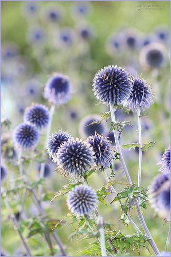 Echinops | by Kathy ~ FineArt-Landscapes