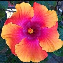 200 Hibiscus Flower Seeds Mixed Different Colors Diy Home And Garden Ornamental Potted Or Yard Flower Plants Hibiscus Plant Hibiscus Flowers Flower Seeds