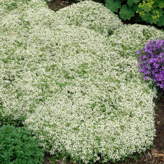 Pflanzen-Kölle Polster-Thymian, 9 cm Topf Trittfester Bodendecker - kunstfelsen selber machen