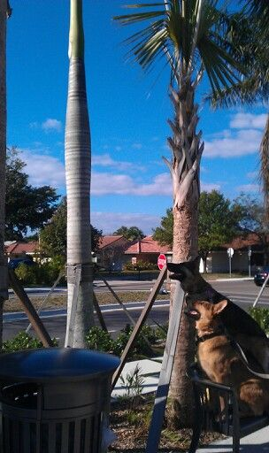 Coco and king on squirrel patrol at the coral springs farmers market.