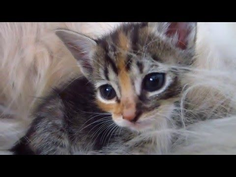 Super Cute Tortie Foster Kitten Curled Up In Dog's Bushy Tail - 3 Weeks Old - YouTube