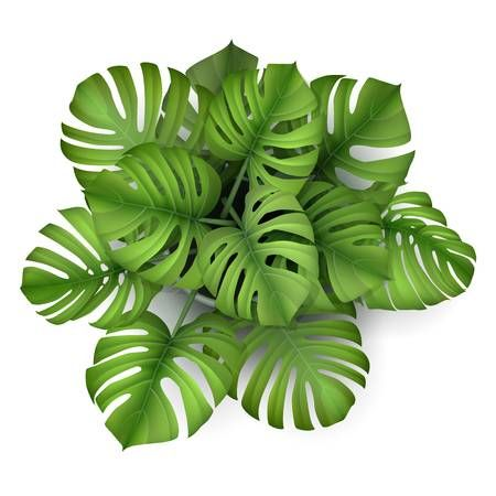 Monstera Plant In A Pot Top View Houseplant For Decorating Interior Plants Flower Pots Plants