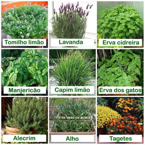 Plantas que os mosquitos odeiam em tempos de chuvas e calor importante saber diversos - Plantas ahuyenta mosquitos ...