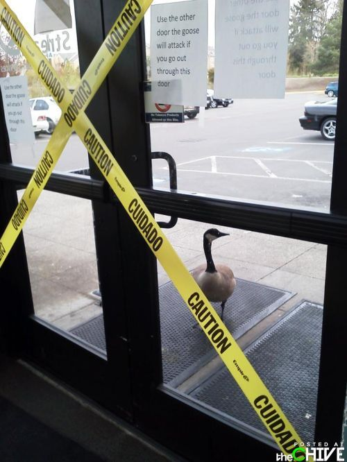 Goose are so scary!
