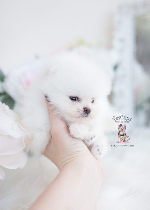 Toy Poodles Miami Toy Poodle Puppies Teacup Puppies Toy Poodle
