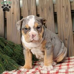 Misty Olde English Bulldogge Puppy For Sale In Pennsylvania