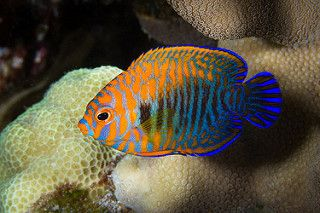 Potter S Angelfish Centropyge Potteri Angel Fish Marine Fish Cool Fish Tanks