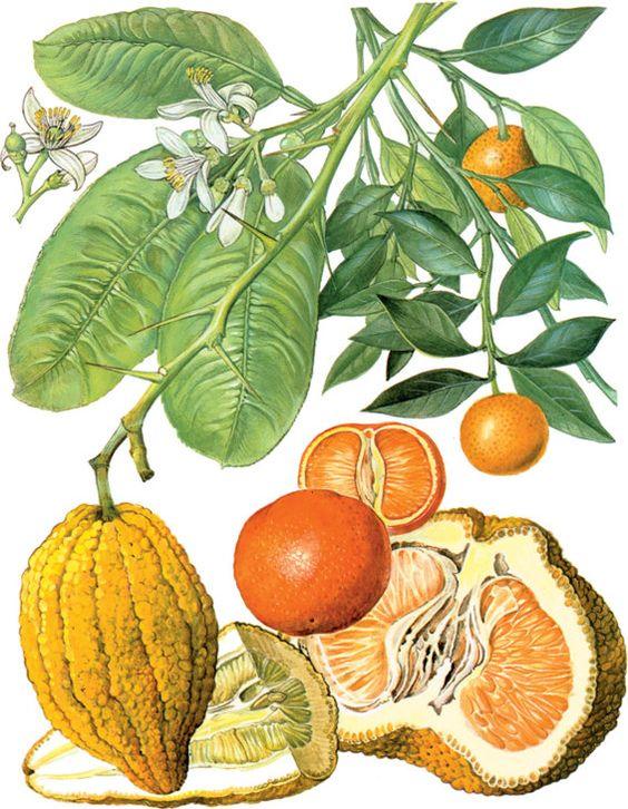 Citrus reticulata (Mandarina)