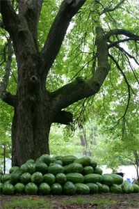 The Watermelon tree- Michfest