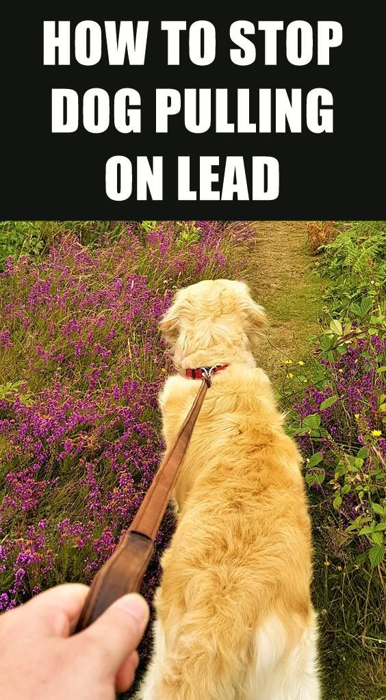 Looking For Some Tips To Stop Your Dog Pulling On Lead Walking