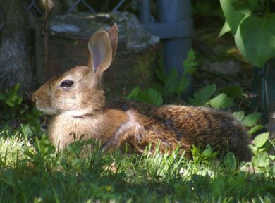 THE RABBIT  The rabbit is important to the Haudenosaunee because it provides meat for food. Rabbit skin is used for making clothing. Many skins can be sewn together to make   			blankets.