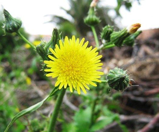 Os benefícios, as propriedades e os modos de utilizar a planta serralha.
