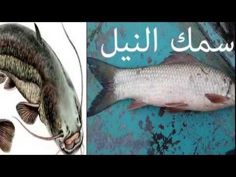 السمك او صيد السمك في النيل وجميع انواع السمك في النيل ومميزات كل نوع وسعره Places To Visit Visiting