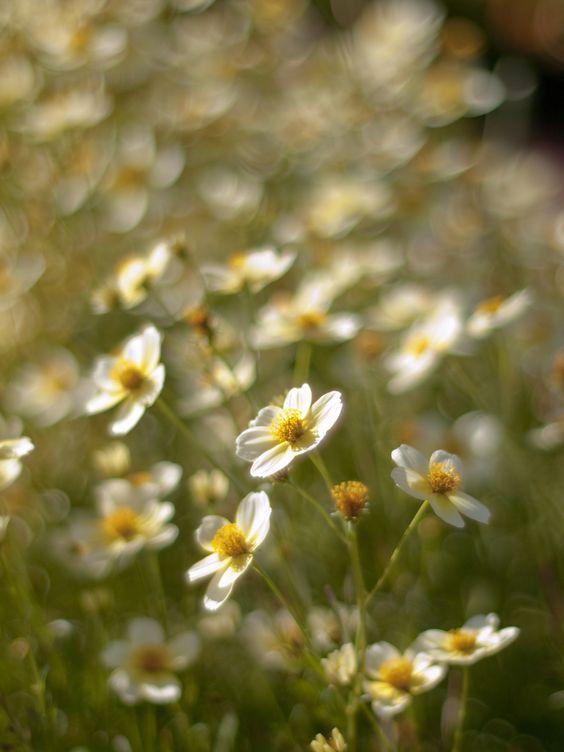prettylittleflower:    Winter cosmos (by Polotaro)