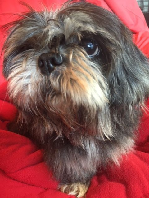 Cira Is An Adoptable Shih Tzu Searching For A Forever Family Near