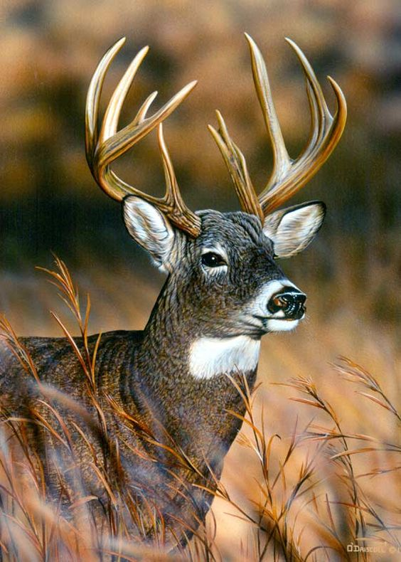 Whitetail Deer by Danny O'Driscoll