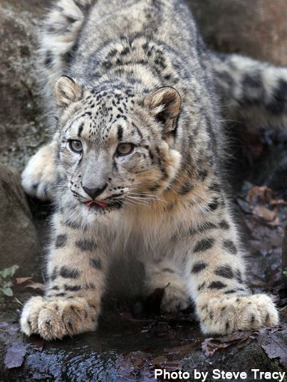 Beautiful snow leopard photo by Steve Tracy: