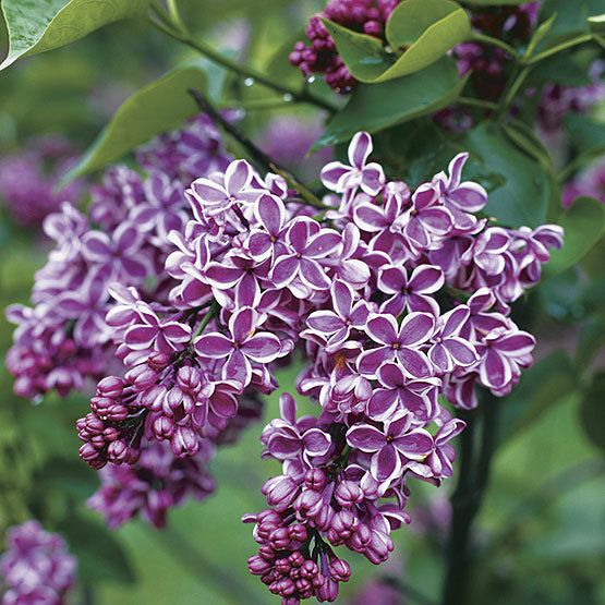 Sensation Lilac Finegardening Lilac Flowers Syringa Vulgaris Lilac Bushes