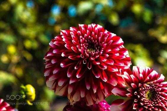 #photography Dahlia by suhail53 https://t.co/VOp1ARklqX #followme #photography