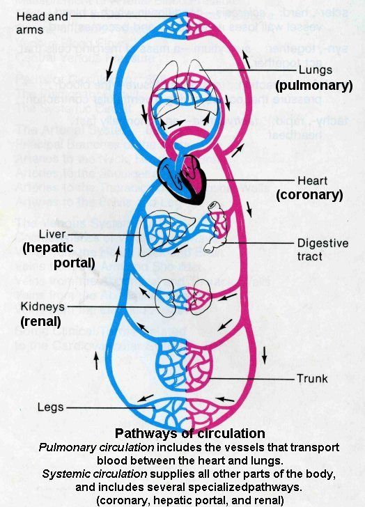 Circulation Pathways- Systemic And Pulmonary Circuits ...