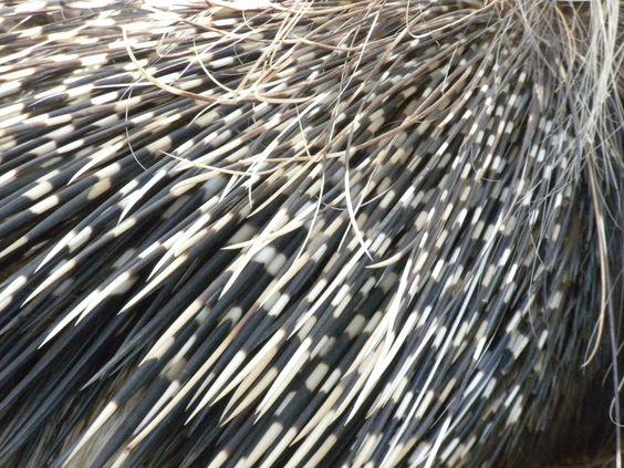 How Porcupine Got Quills