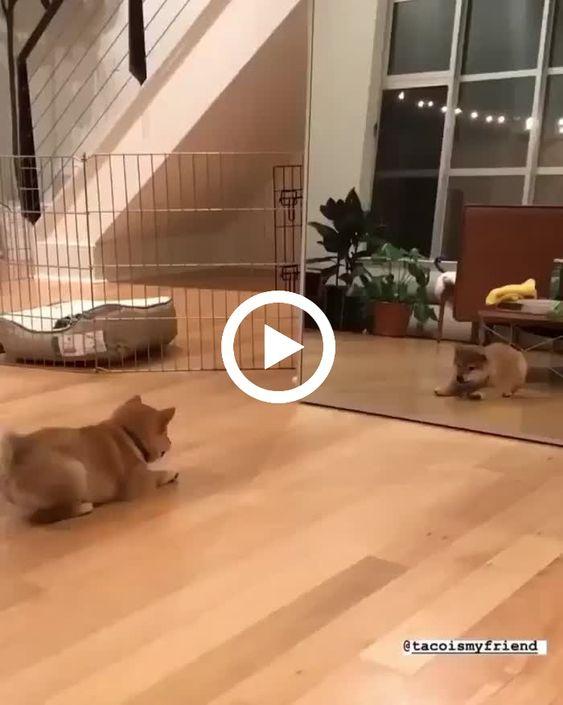 o cachorrinho brigando com ele mesmo no espelho