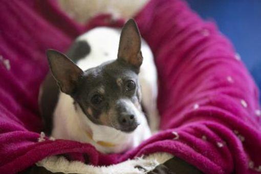 Colorado Springs Co Feist Meet Bailey A Pet For Adoption In 2020 Pet Adoption Pets Adoption