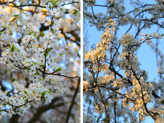 Весенние цветения на Летнем озере, г. Калининград. Фото: Evgenia Shveda