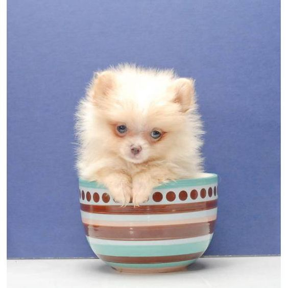 micro teacup pomeranian puppies for sale uk Zoe Fans