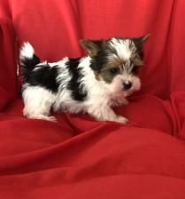 Yorkie Puppies For Sale Yorkie Pups Of Texas Yorkie Puppy Yorkie Puppy For Sale Biewer Yorkie