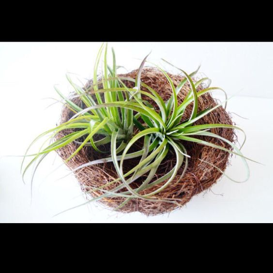 birds nest is a good choice to plant tillandsia or succulent beautiful backyard office pod media httpwwwtoxelcom