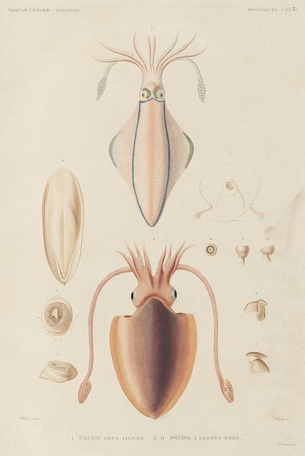 "Astrolabe Molluscs from the Voyage de la Corvette (atlas), 1833. Hand-coloured illustrations of invertebrate marine animals from the phylum Mollusca, collected during a French expeditionary voyage, ca.1820s. ""The phylum Mollusca contains some of the most familiar invertebrates, including snails, slugs, clams, mussels, and octopuses"" 