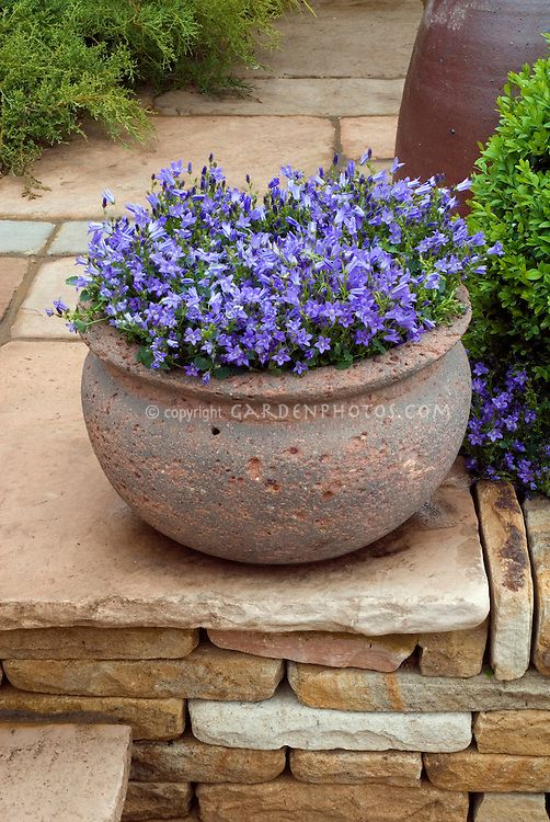 Campanula In Container Pot Plant Flower Stock Photography