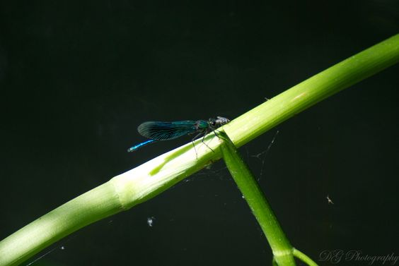 Damsel Fly eating a Fly
