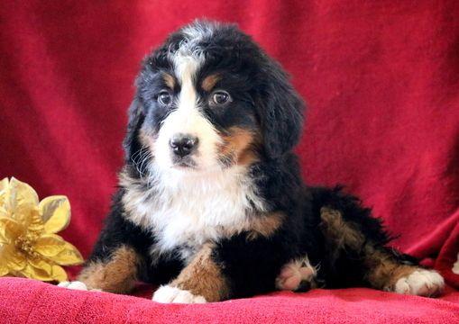 Bernese Mountain Dog Puppy For Sale In Mount Joy Pa Adn 60157 On