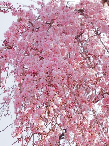sakura I think this what I was talking about ‏@xhiroxhiro: