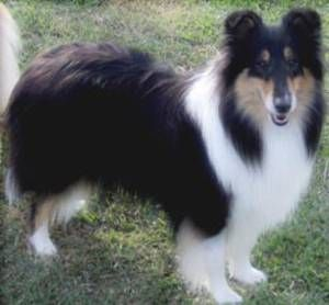 "scotch collie dog photo | Scotch Collie Rough Pure bred( With Papers) ""LASSIE DOG"" - Brisbane ..."