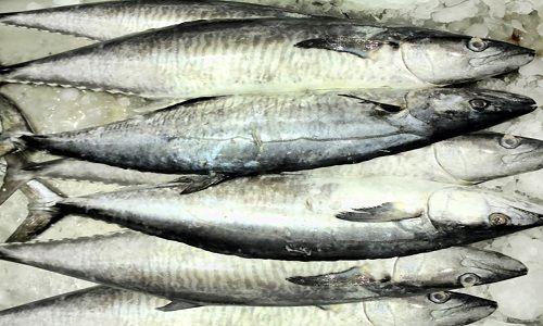 سمك الدراك الكنعد بين الفوائد وطرق الصيد الصحيحة Fish Meat