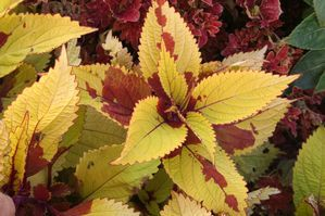 Coleus 'Pineapple Beauty'. Golden leaves with bloody burgundy stains.