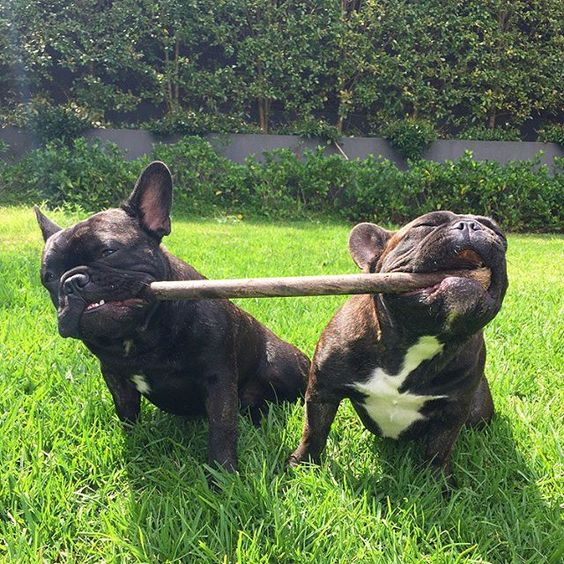 """""""Mine!""""......""""Gimme it!"""", Sharing is Caring, French Bulldogs vs the Stick."""
