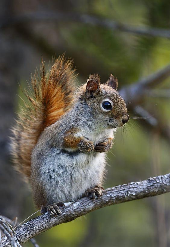 Viven en los bosques las ardillas. ardilla - squirrel  #learningspanish