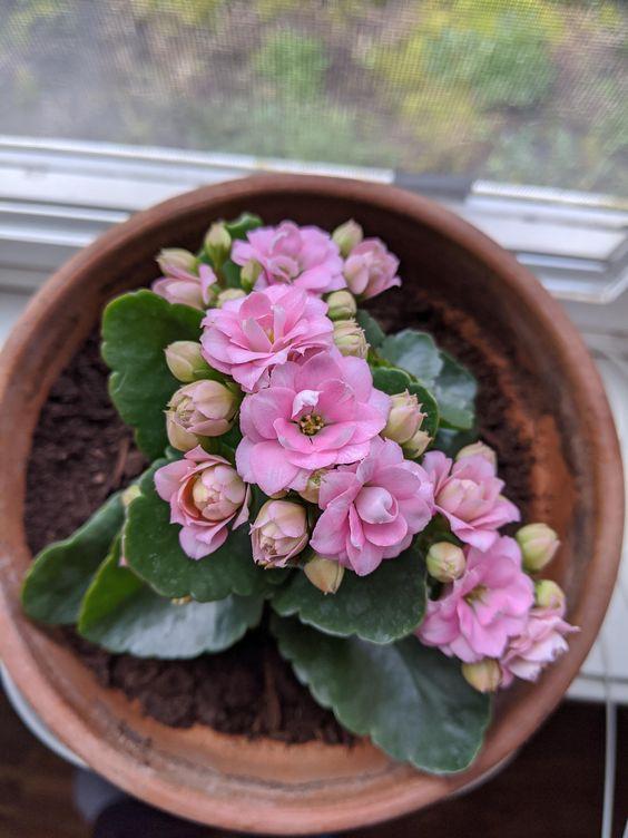 Kalanchoe, flowering indoor plants